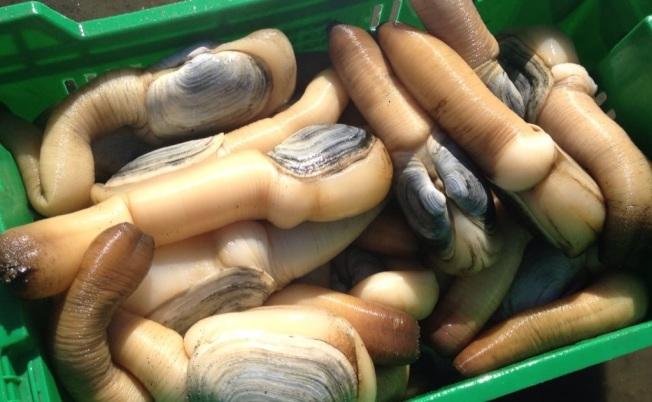 华盛顿州象拔蚌市场受中国提高关税影响。 (取材自推特)