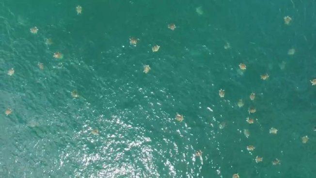 空拍海龜大抵達 影片見證最大群