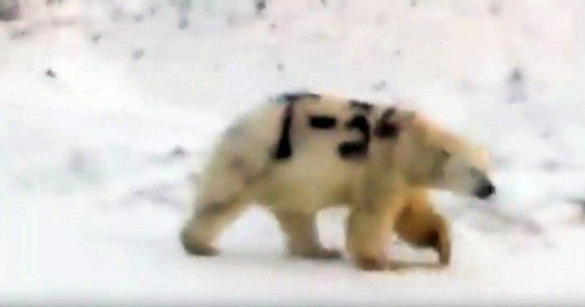 俄羅斯有一隻北極熊被拍到身上遭人噴漆「T-34」字樣,影片在俄國通訊軟體和社群媒體熱傳,引爆各種猜測和謠言。(取材自Facebook/Серёга Кавры)