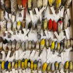 氣候暖化 讓鳥類體型縮水、翼展變長