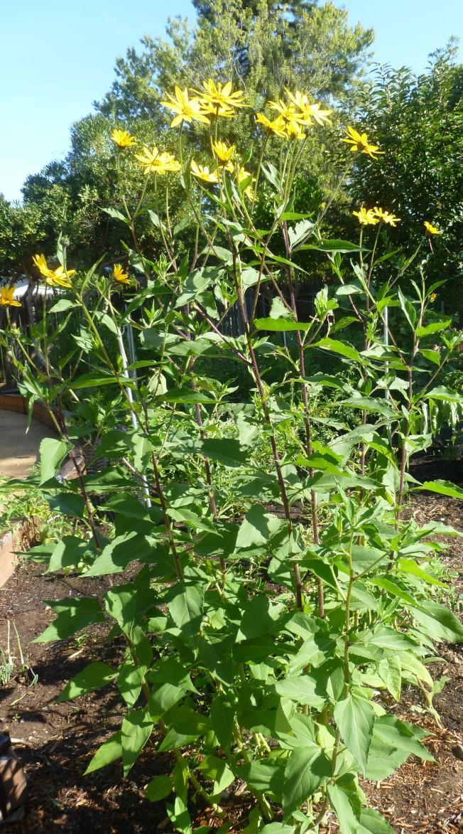 菊芋是一種宿根性草本植物。