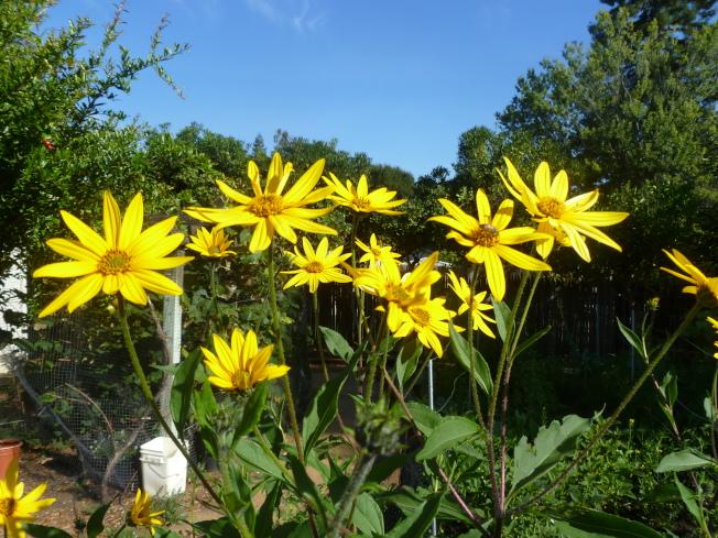 菊芋的花,很像向日葵。