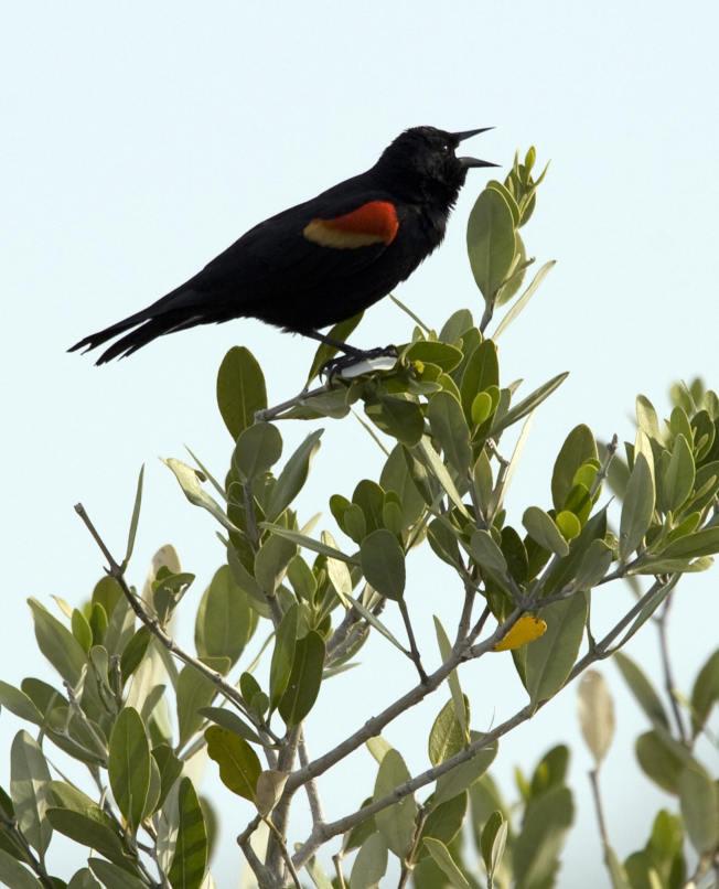 研究人員分析40年超過7萬隻北美遷徙性鳥類的標本發現,隨著氣候暖化,52種鳥類體型縮小但翼展加大。圖為一隻紅翅黑鸝在佛羅里達州梅利特島野生動物保護區的樹梢高歌。(Getty Images)