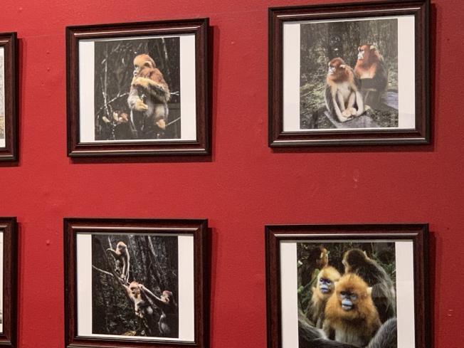 藍臉金絲猴是中國一級重點保護野生動物。(記者賴蕙榆/攝影)