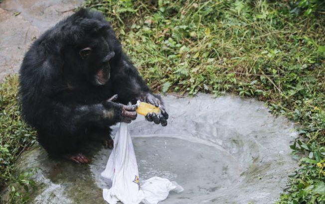 黑猩猩「渝輝」還知道要把衣服翻面再洗。(取材自微博)