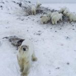 又來了!北極熊大軍入侵俄村落 專家建議遷村