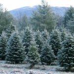市場式微 小型耶誕樹農場苦撐