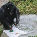 重慶黑猩猩就愛洗衣服 網讚:居家好男猩