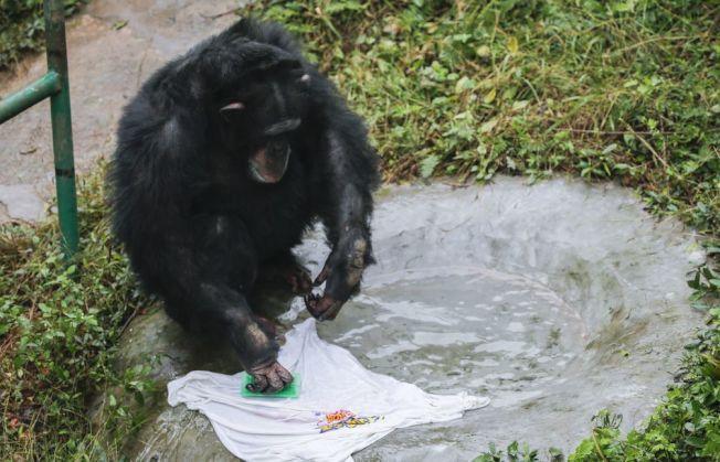 愛洗衣服的黑猩猩「渝輝」。(取材自微博)