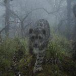 全球首次拍到!雪豹現身四川熊貓棲息地