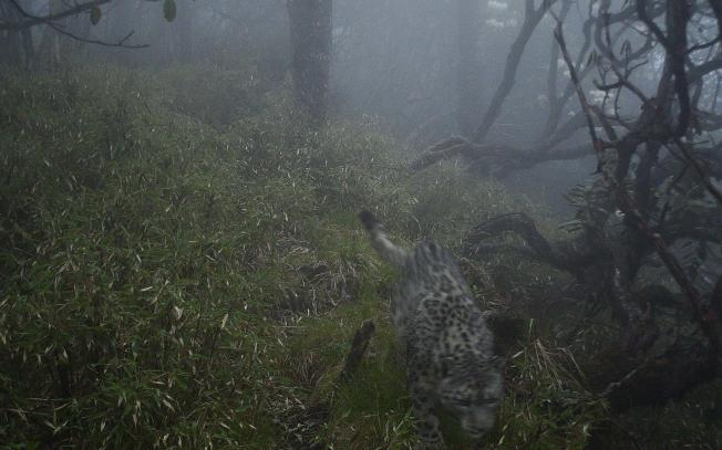 紅外相機拍攝到的雪豹畫面。(四川臥龍國家級自然保護區管理局供圖)