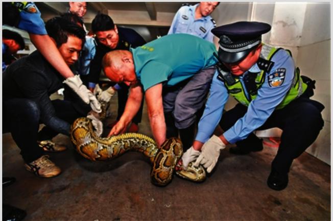 蟒蛇疑似是「過重」撐破商店天花板掉落地面才被發現。(取材自廣州日報)