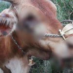 牛被大卸八塊後全留現場 老刑警:從警近30年沒見過