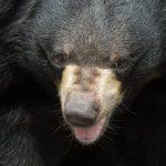 日本診所倉庫驚見2頭熊 呈冬眠狀態