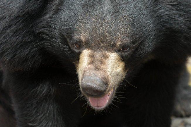 日本新潟縣南魚沼市一家診所業者8日上午發現有熊在診所倉庫,報警處理。警察趕至診所後,發現診所另一處還有一頭小熊,兩頭熊都呈現不動的狀態,像是在冬眠。 示意圖/ingimage
