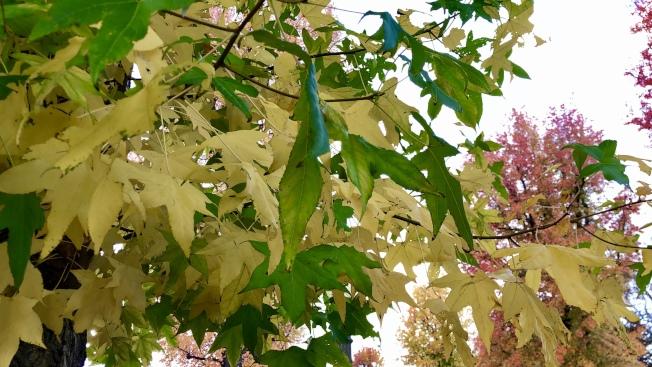 低溫使楓葉逐漸變紅。(記者王若然/攝影)