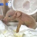 掀道德爭議 中國培育全球首見豬猴混合體 1周就死了