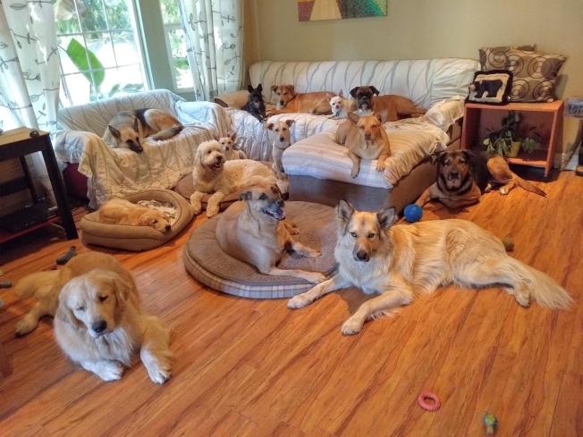 家住巴沙迪那的曾女士,是南加州華人愛狗圈裡出名的狗兒照護之家,今年感恩節她照顧14隻狗,竟然可以都看鏡頭,飼主們都覺得她太厲害了。(Elizabeth Tseng提供)
