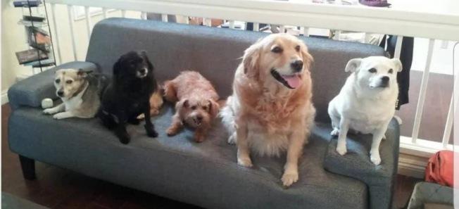 台灣流浪犬之家的義工董筱翠(Elizabeth Ma),收養了八隻台灣流浪犬,這是其中的五隻。(董筱翠提供)
