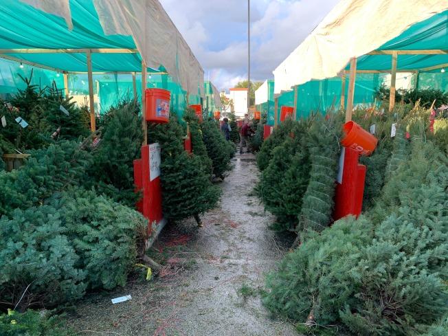 家得寶(Home Depot)耶誕樹數量多。(記者王子銘/攝影)
