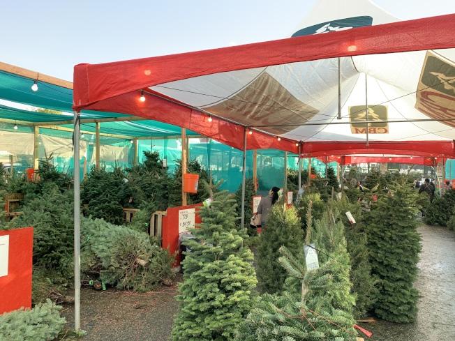 家得寶(Home Depot)耶誕樹吸引很多民眾前來採購。(記者王子銘/攝影)