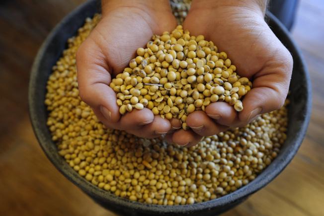 農產品還是美中貿易戰焦點,圖為美國愛阿華州豆農捧起收穫的大豆。(美聯社)