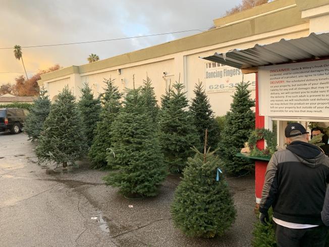 不同尺寸的耶誕樹。(記者王子銘/攝影)