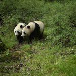 亞成體野生大熊貓雙胞胎 四川臥龍首次拍到