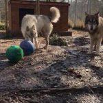 聖法蘭西斯野狼保護地 將遷新址