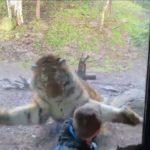 男孩跟老虎玩「123木頭人」 一個回頭差點嚇尿
