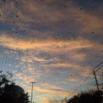 末日?休城中國城 成群黑鳥遮天