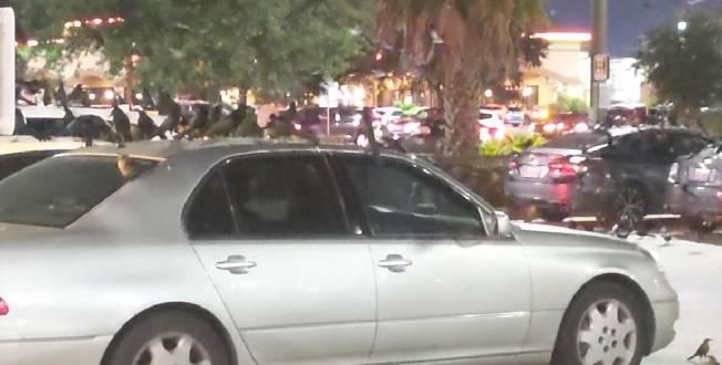 華人車主看到車頂上停滿黑鳥,嚇得不知如何是好。(記者蕭永群/攝影)