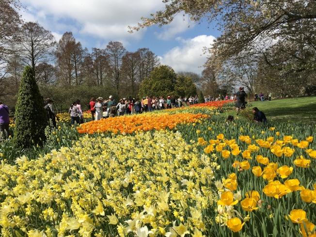 遊客春遊鬱金香園。