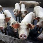 峇里島的豬 現在沒飛機餐廚餘可吃