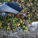 印度動物園瀕絕禿鸛破殼孵化 保育現曙光