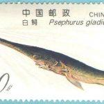 中國淡水魚之王  「長江白鱘」宣告滅絕