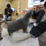 日本大阪「貓客棧」 對喵星人過敏也能入住
