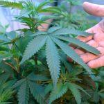 門檻高 申請種大麻先繳4萬元