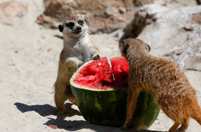 狐獴搶食西瓜。(路透)