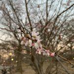 冬季驟然變暖 中央公園櫻花開了