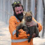 澳洲國寶無尾熊死傷慘重 恐列入瀕絕名單