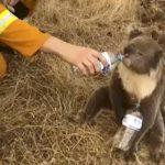 餵無尾熊喝水好暖心? 可能反害死牠