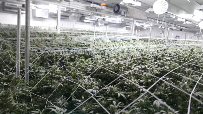 位於洛杉磯的大麻店「Cannary West」樓下是零售,樓上則是合法種植場。(記者李雪/攝影)