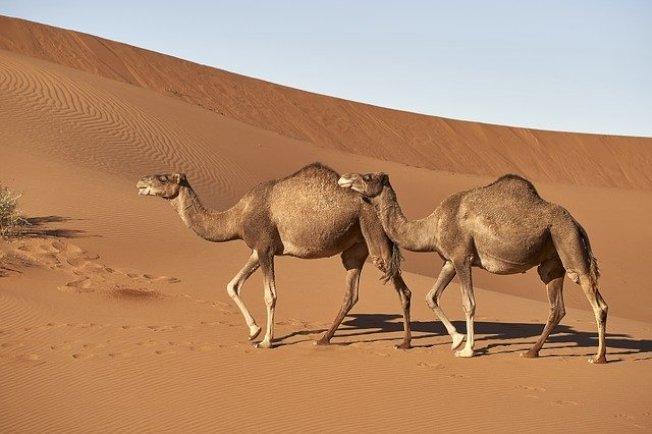 駱駝示意圖。圖:pixabay