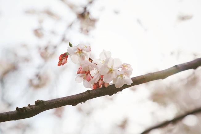 華府潮汐湖畔櫻花樹有多種,以這種吉野櫻為主,今年暖冬導致部分白枝垂櫻的櫻花早開。(記者羅曉媛/攝影)