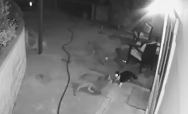 高地公園一隻家貓Max英勇擊退三隻土狼襲擊。(CBS)