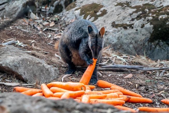 澳洲消防人員特別空投紅蘿蔔給野火災區的動物吃。(Getty Images)