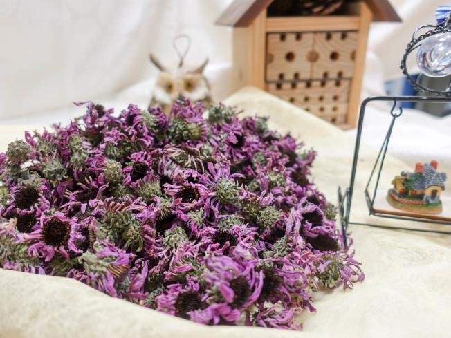 飲用紫錐花濃茶可以抗流感。(圖:農委會台中農改場提供)