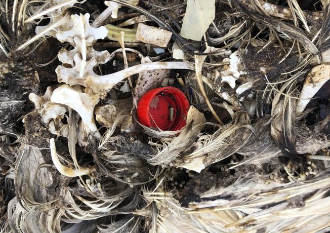 夏威夷西北的中途島環礁上,可見許多死鳥的骨骼和羽毛,其中夾雜著塑膠垃圾。(美聯社)