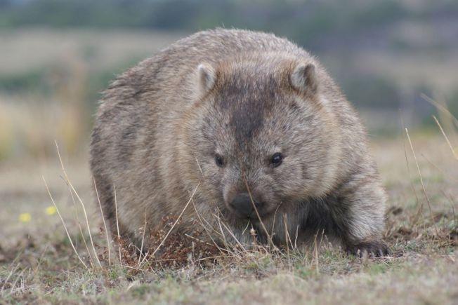 袋熊的地洞網絡龐大且複雜,可避開地面上惡劣環境,目前已知有一些小型哺乳類動物會利用袋熊洞穴,從澳洲森林大火中自救。 (Getty Images)